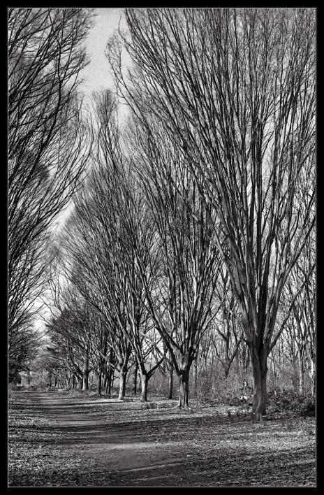 Bushy Park trees-2