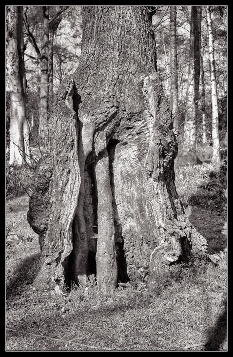 Bushy Park trees-5