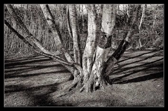 Bushy Park trees-7